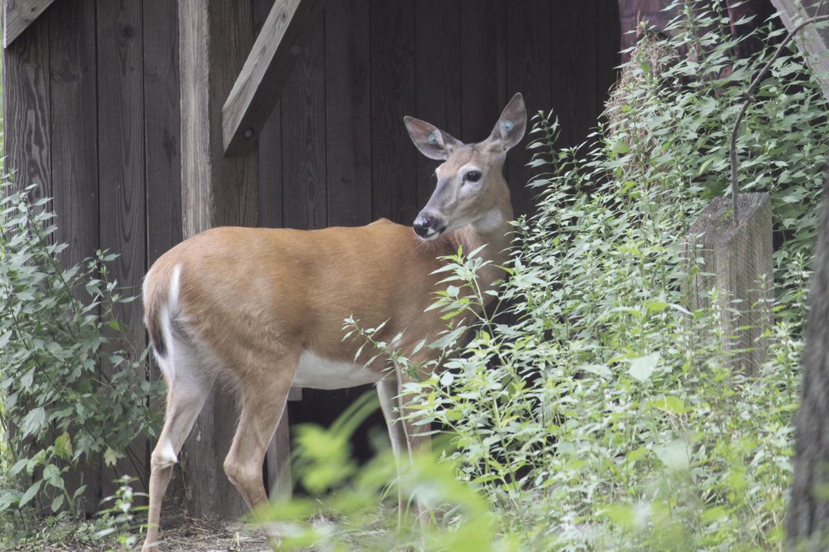 Mackenzie Center deer