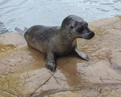 Dane County's Henry Vilas Zoo welcomes new harbor seal
