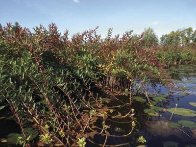 Swamp loosestrife