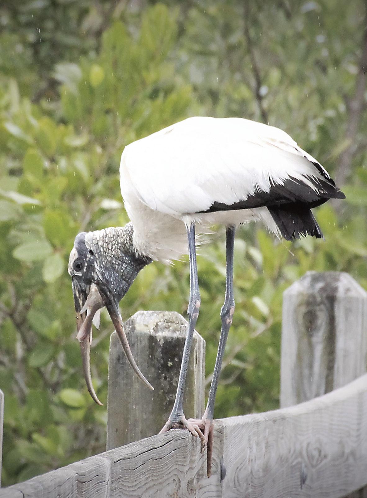 Wood stork baby at Pelican Island National Wildlife Refuge