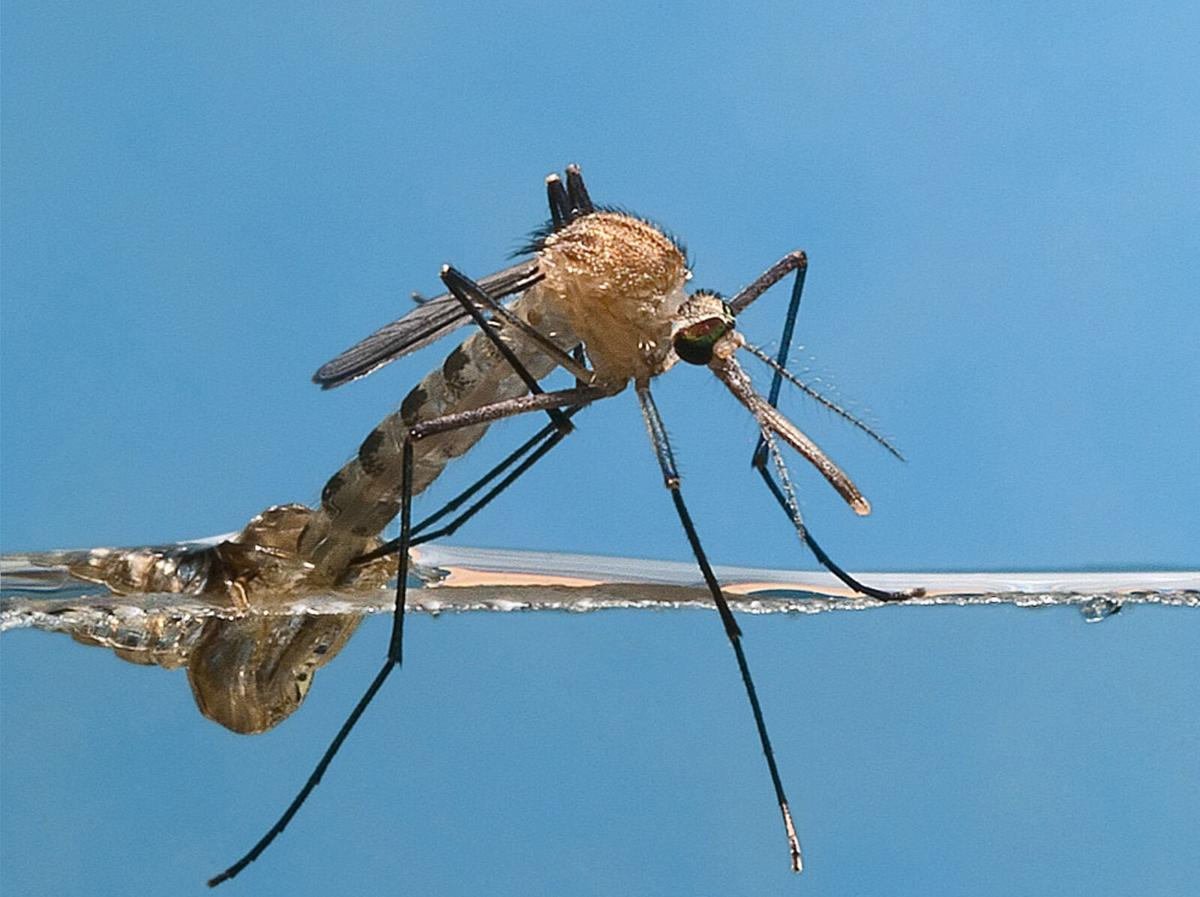 Southern house mosquito