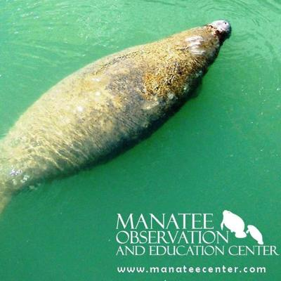 Manatee Observation & Education Center hosts 'NatureFest' this weekend