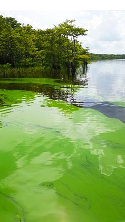 Blue Cypress Lake algae