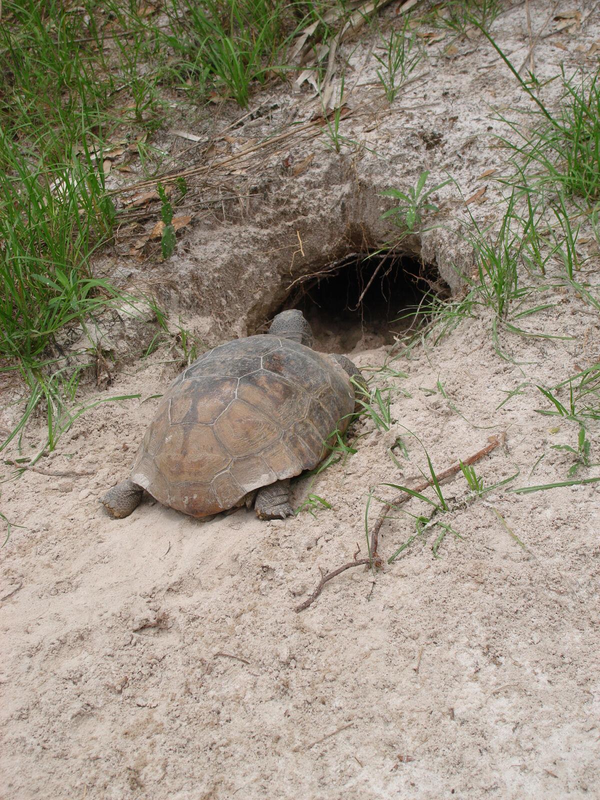 gopher tortoise entering burrow
