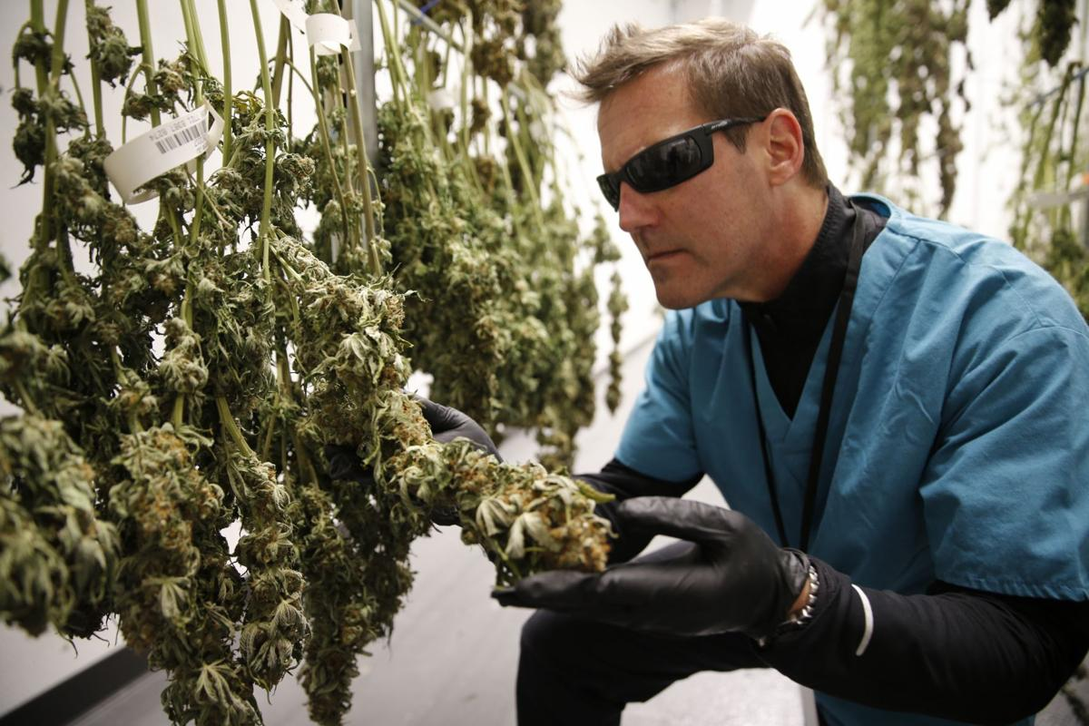AltMed Florida Director of Corporate Affairs Todd Beckwith inspects flower