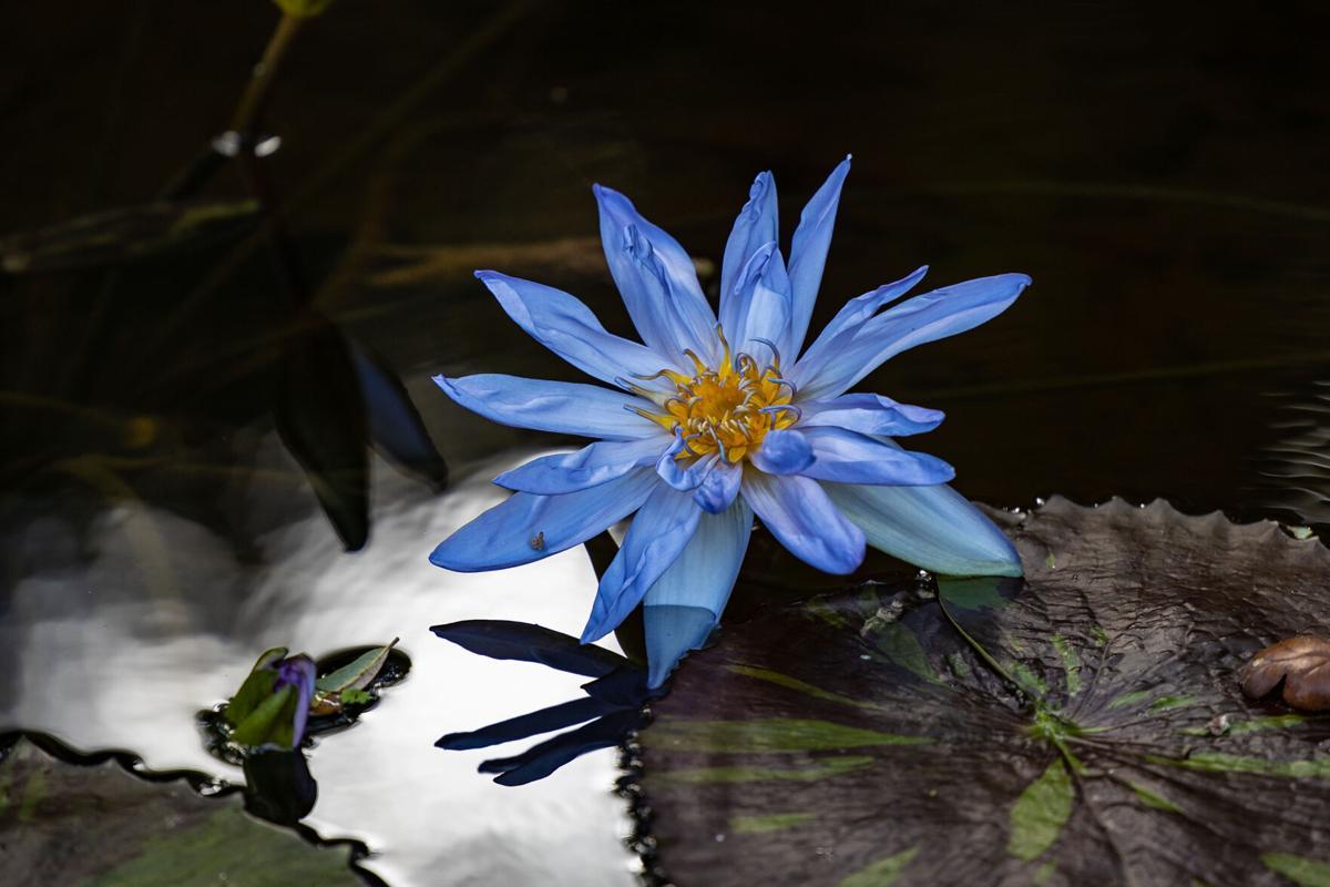 McKee Botanical Garden waterlily