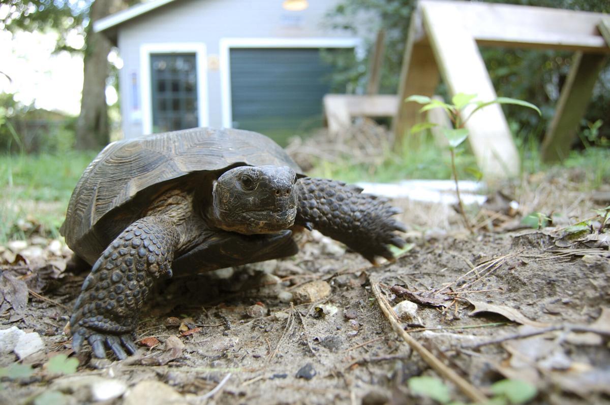 gopher tortoise outside house