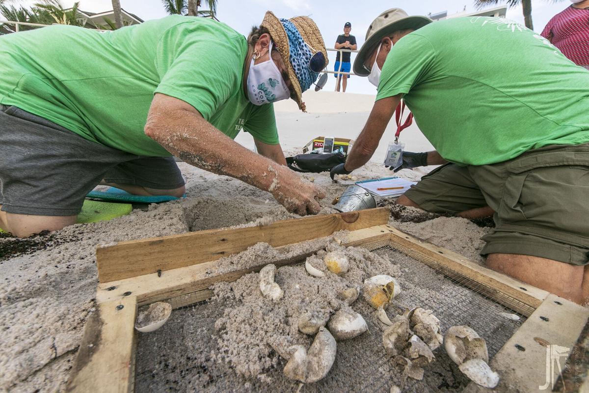 sea turtles -  turtle dig