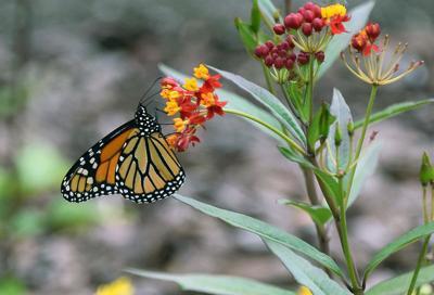 Butterfly Friendly