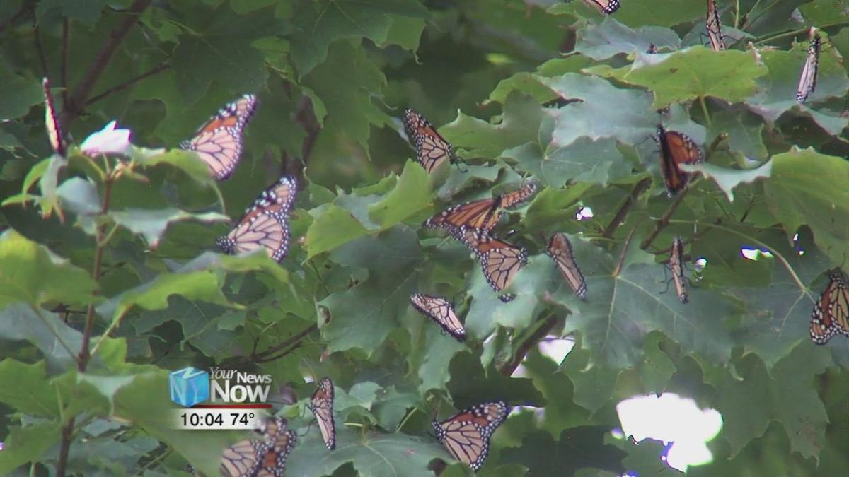 Monarch Butterflies take a break in our area on their way south 2.jpg