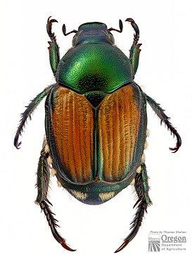Information On Japanese Beetles From Osu Extension Hancock County