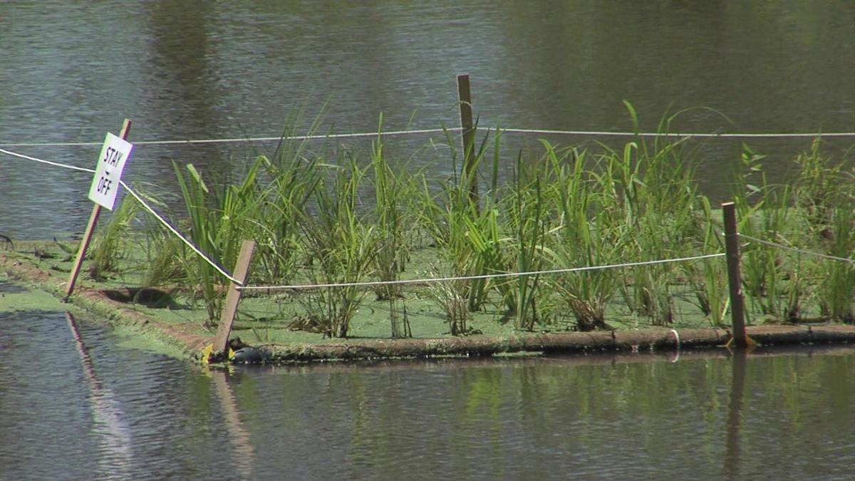 Floating Wetlands helping Faurot ponds get healthy2.jpg