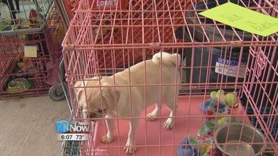 Dozens of pugs rescued from Lima puppy mill
