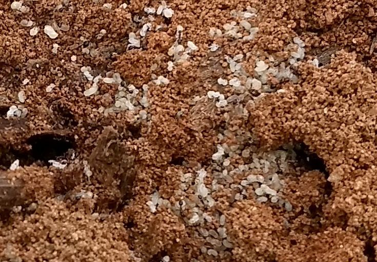 Fire ant brood (copy)
