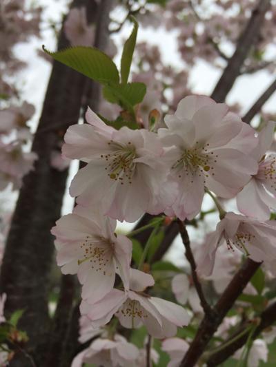 Jackson Park cherry blossoms