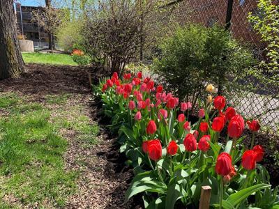 elm park tulips