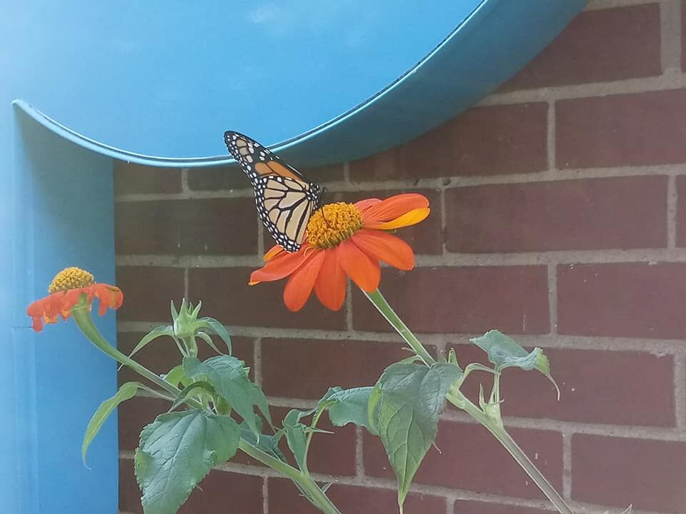 Monarch mexican sunflower