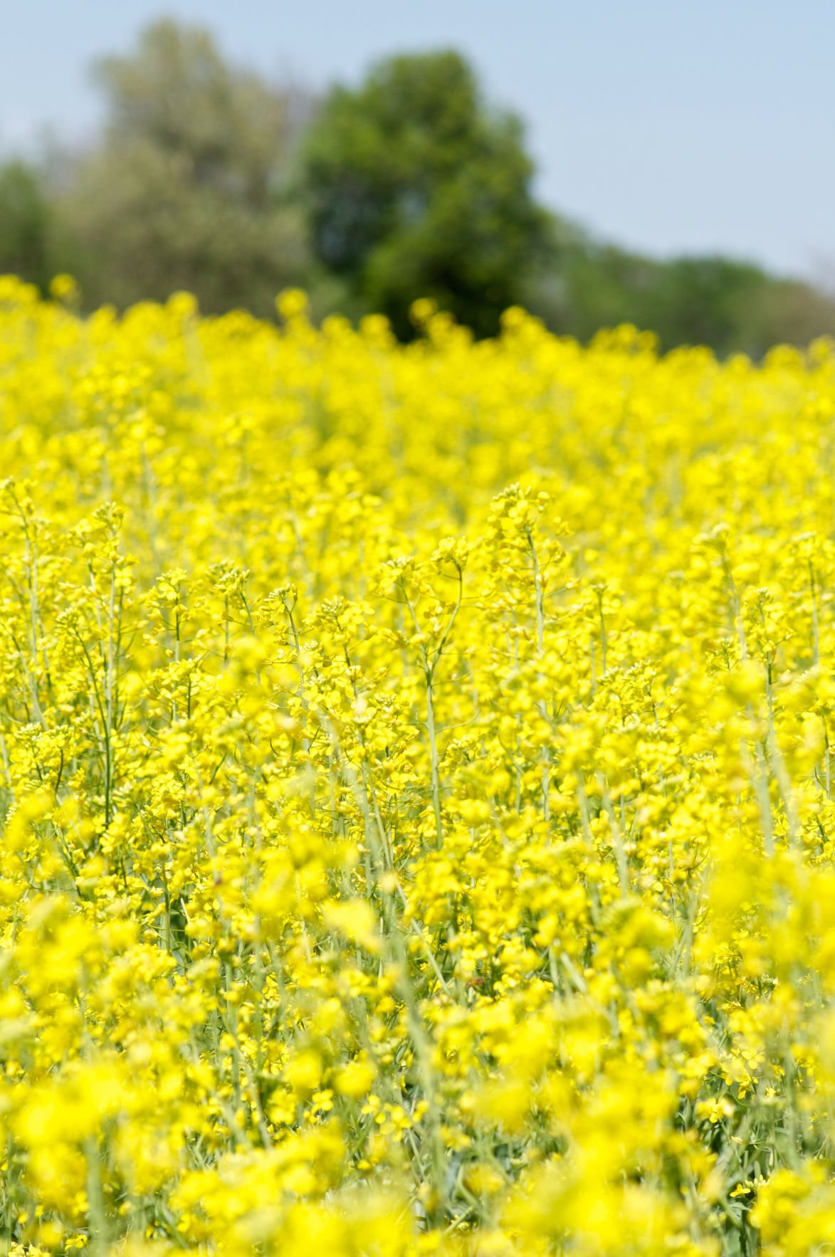 Oklahoma Winter Canola Spring Field Tours Set For April Crops