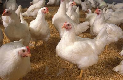 Scientists with ARS and the University of Maryland-Eastern Shore have developed methods to make Salmonella easier to identify among living populations of mixed bacteria on poultry. k10003-5