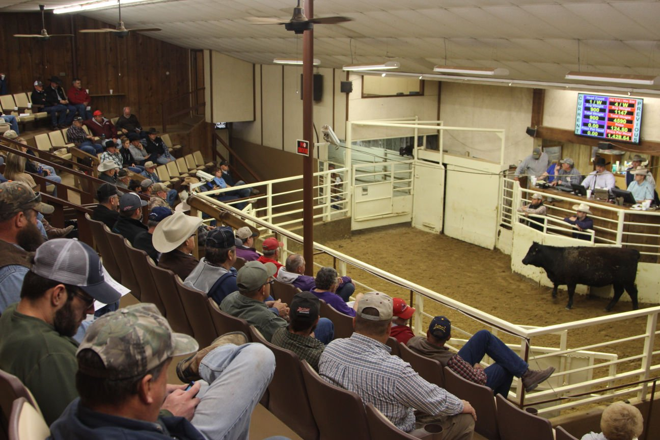 A Heifer Donated By Clawson Ranch Partnership, Meade, Kansas, Runs Through  The Sale Ring At Pratt Livestock, Inc., Pratt, Kansas, March 31.