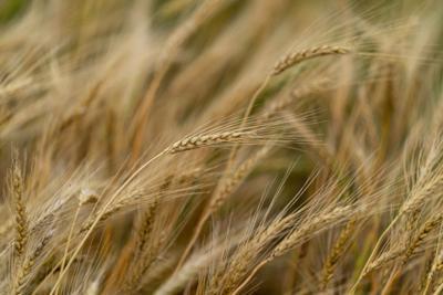 20210512_Wheat_LM