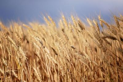 Wheat-D Jeardoe-Summer.jpg