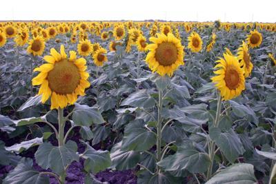 Sunflowers-1024x683.jpg