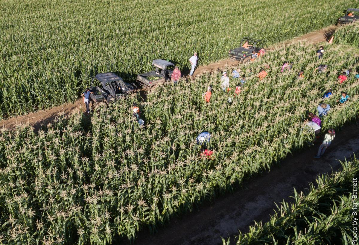 Aww Shucks Corn Harvest