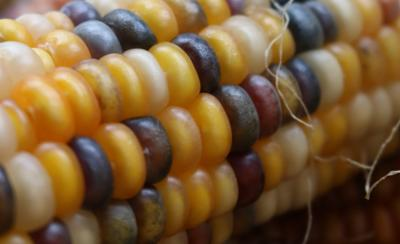 The busy frontier of corn genetics