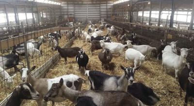 dairy_goat_original.jpg