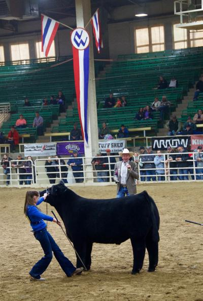 Showing livestock