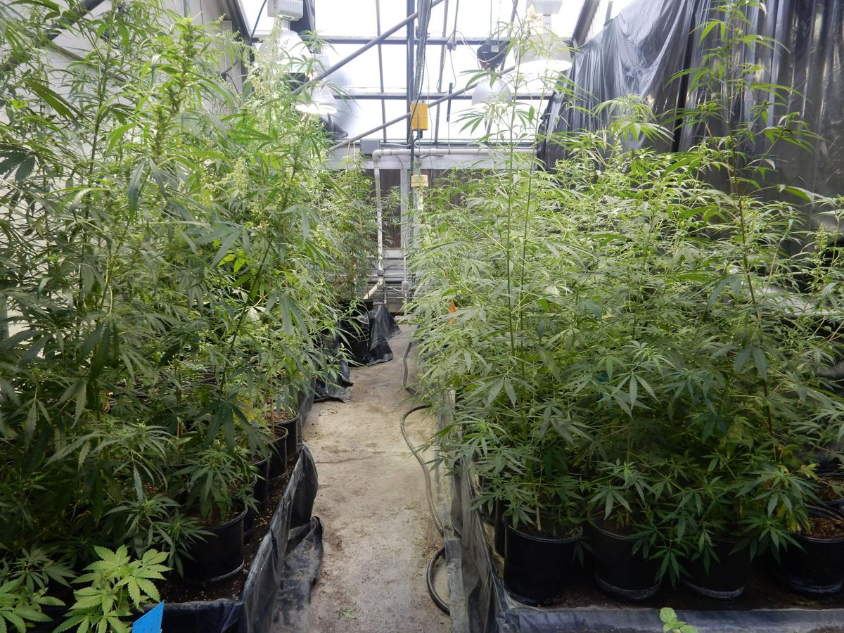 Hemp photo by Ismail in greenhouse.JPG