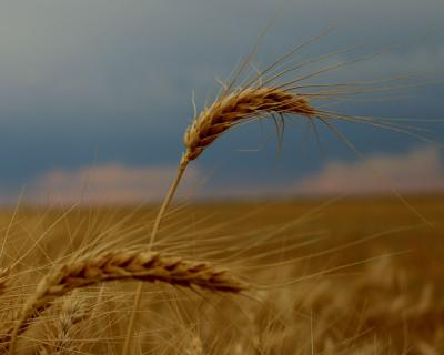 Wheat Field-C Kunselman-Summer.jpg
