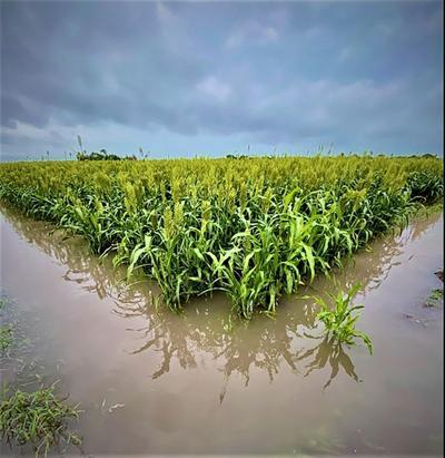 Flooded-sorghum.jpg