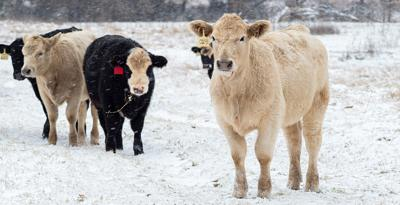 Cattle care in winter storms