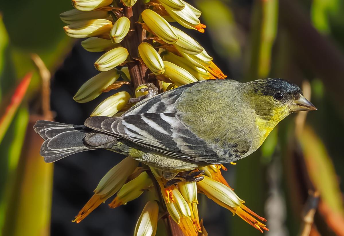 join the great backyard bird count ag news hpj com