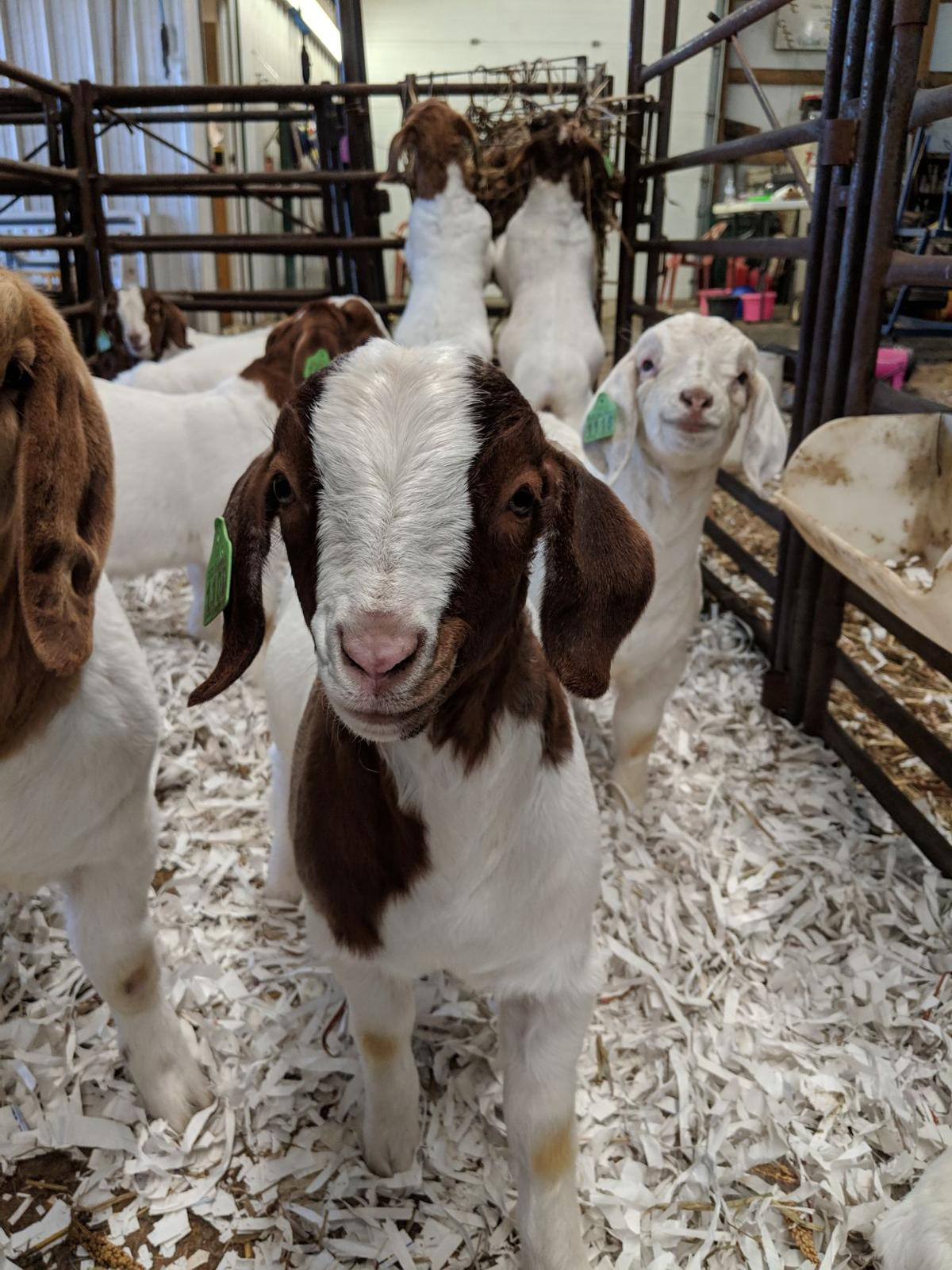 Meat goats gain pounds and popularity | Livestock | hpj com