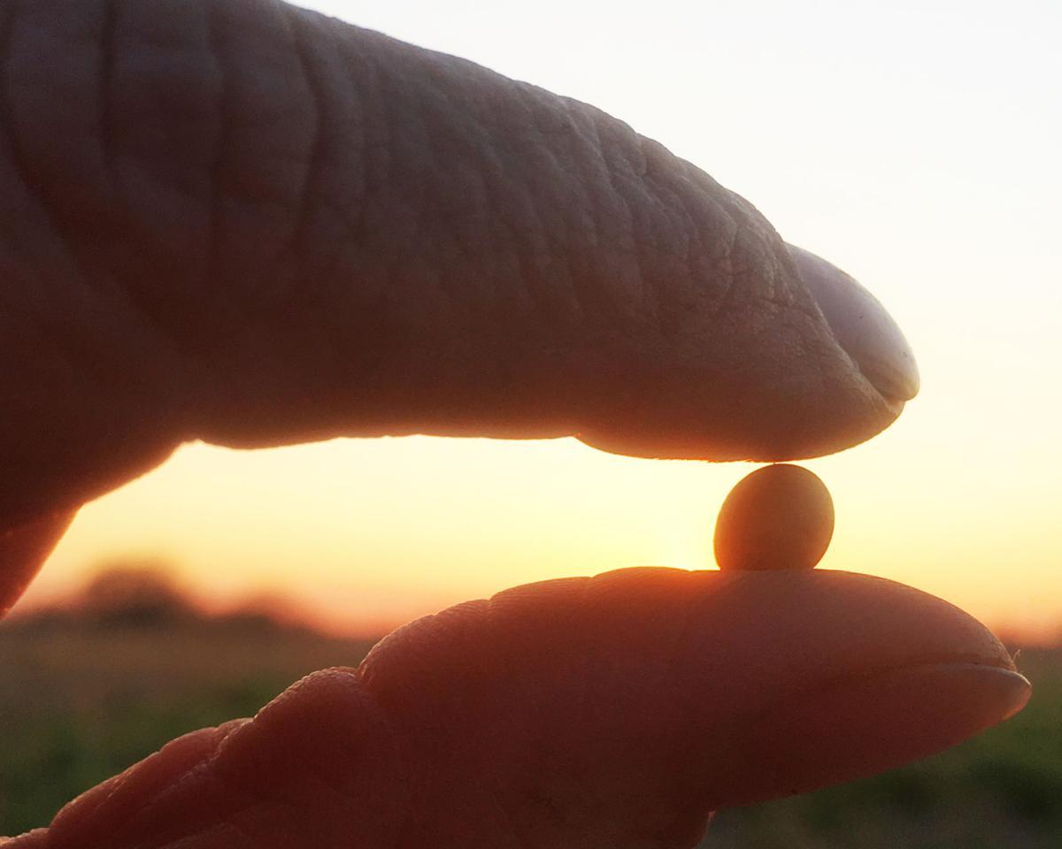 Soybean-K Nichols-Spring.jpg