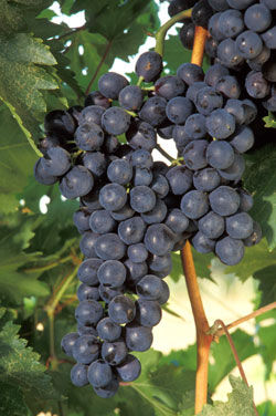 The goal: Finding--and using--key grape genes