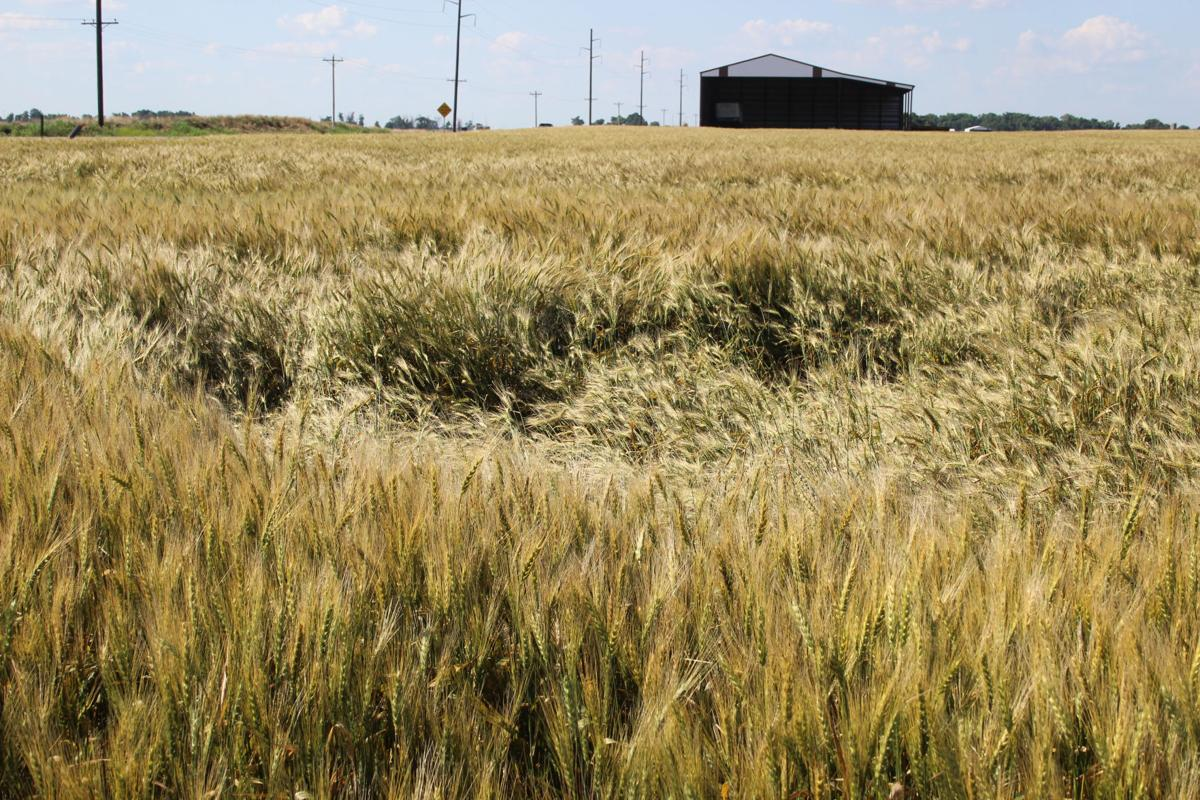 Oklahoma wheat harvest held up by Mother Nature