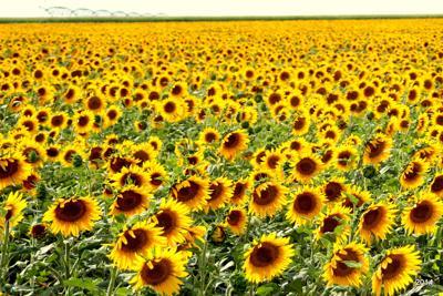 WinterBrownSunflowers