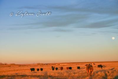 Moonlight cows