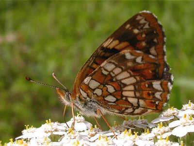 harris-checkerspot sideshot sandhill wildlife area Wood County, wis.jpg
