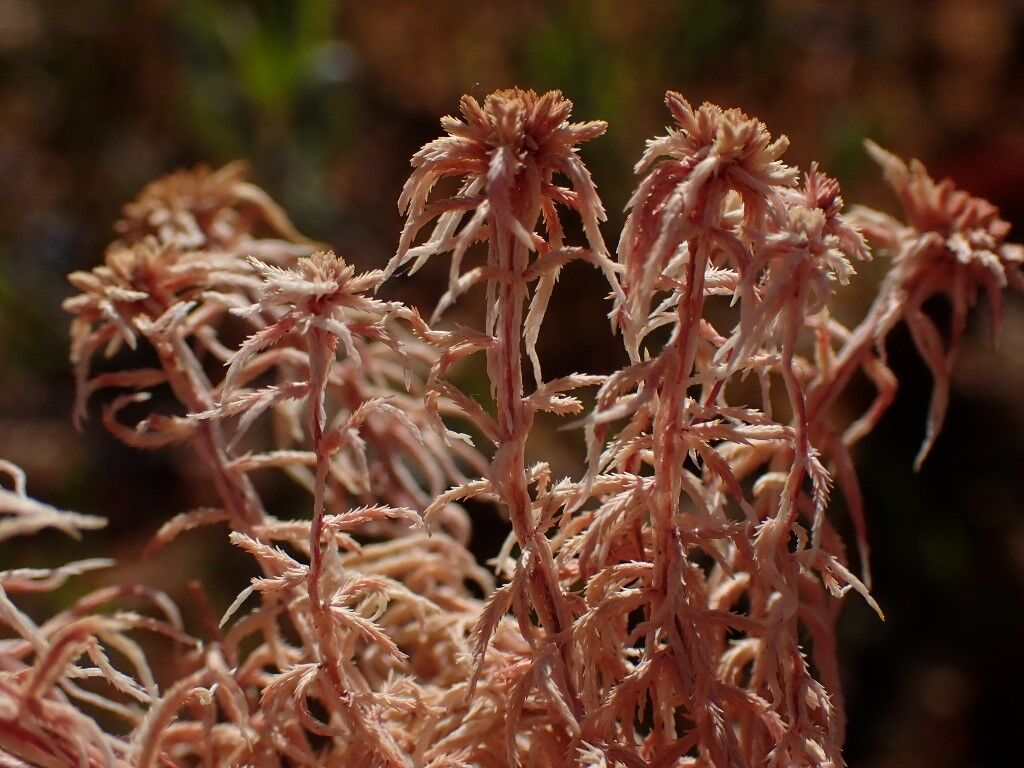 Natural Connections sphagnum moss dead.jpg