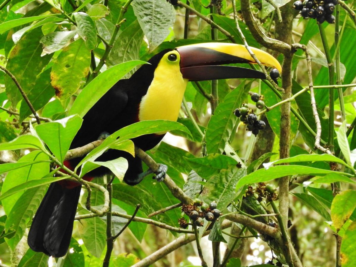 Chestnut mandibled toucan.JPG