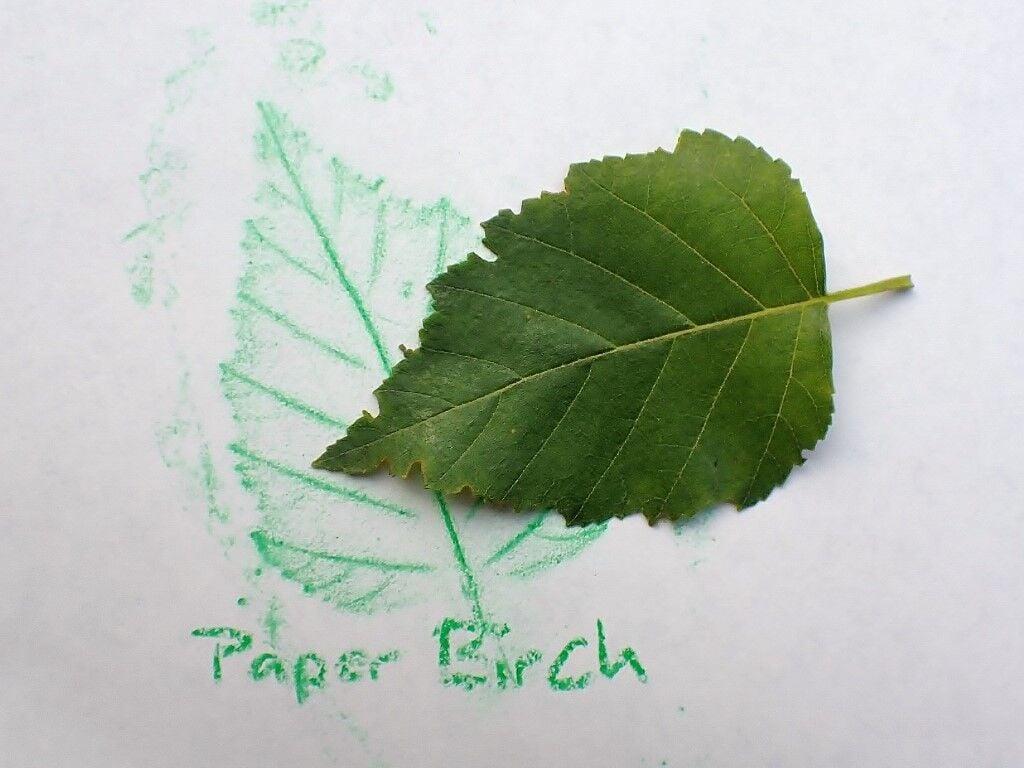 Paper birch leaf and rubbing.jpg