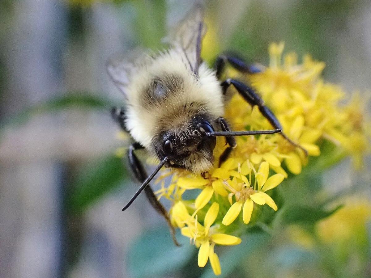 Common bumble bee male.jpg