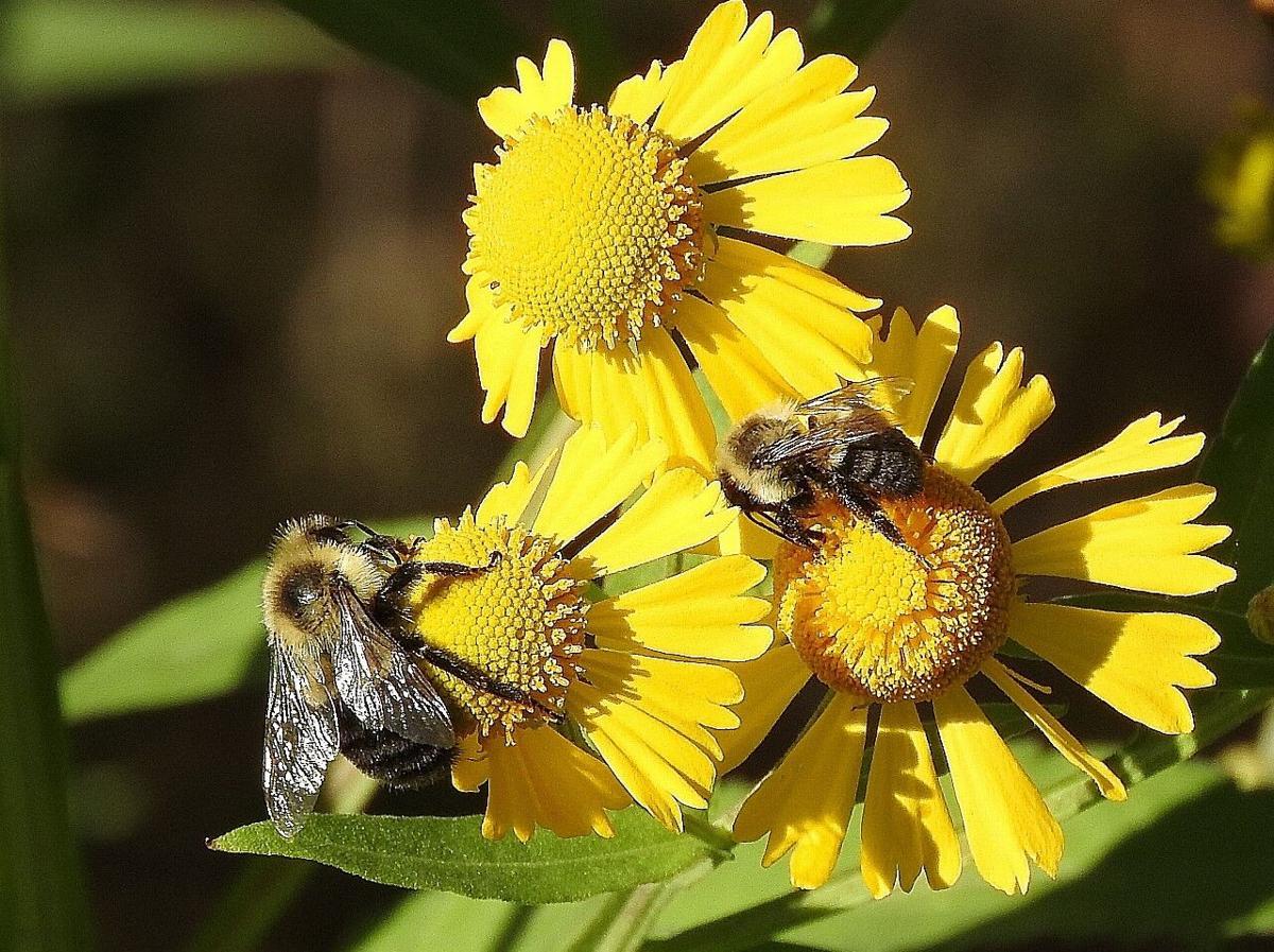 Common bumble bee queen and worker.jpg