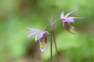 Calypso orchid in Wisconsin