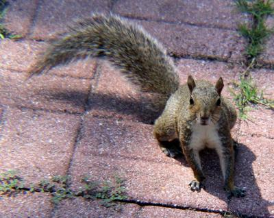 Squirrel hunt ignites animal rights furor